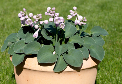 growing hosta plants