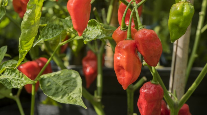 growing hot peppers