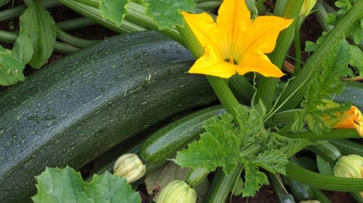 growing zucchini