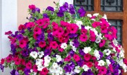 5 Simple Tips To Keep Hanging Baskets Beautiful All Summer Long
