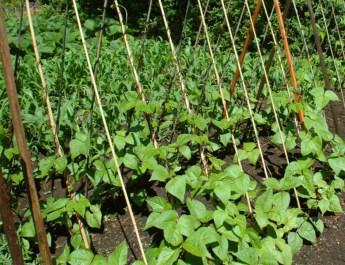 planting pole beans