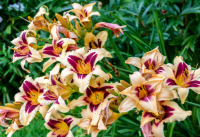 Dividing Hostas And Daylilies In The Summer How To Multiply Plants