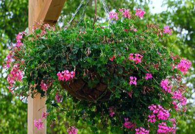 overgrown hanging baskets