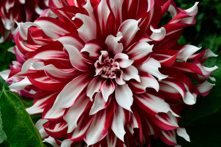 Growing Dahlias Big Summer Blooms With Gorgeous Color
