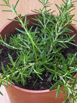 overwintering herbs indoors