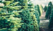 Caring For A Living Christmas Tree – Before, During And After Christmas!