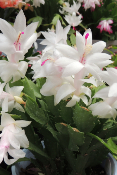 How To Prune A Christmas Cactus.Christmas Cactus Care How To Keep Your Holiday Cactus Healthy