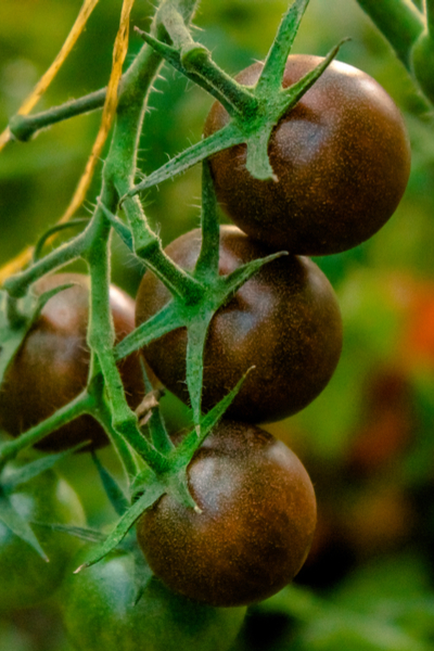 saving vegetable seeds from the garden