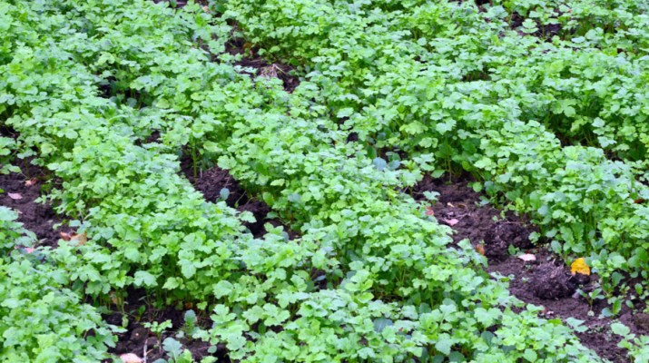 green manure crop