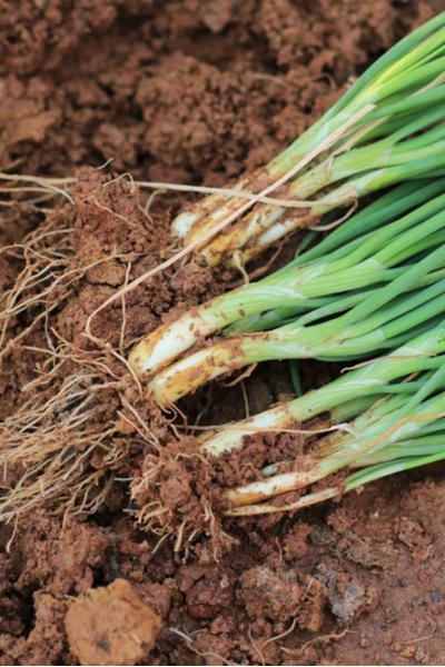 spring vegetable crops