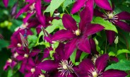 Growing Clematis – The Climbing Perennial With Big Flower Power!