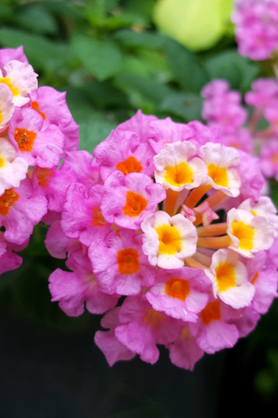 planting hanging baskets with lantana