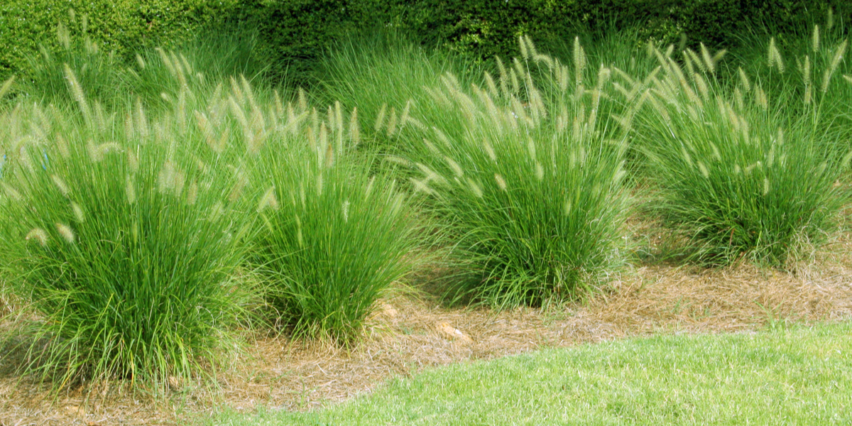 Dividing Ornamental Grasses - How To Create New Plants For ...