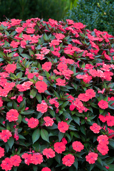 impatiens - container plantings