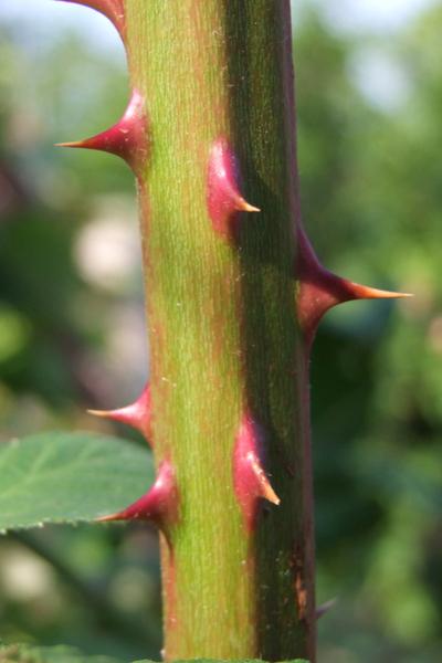 raspberry thorns