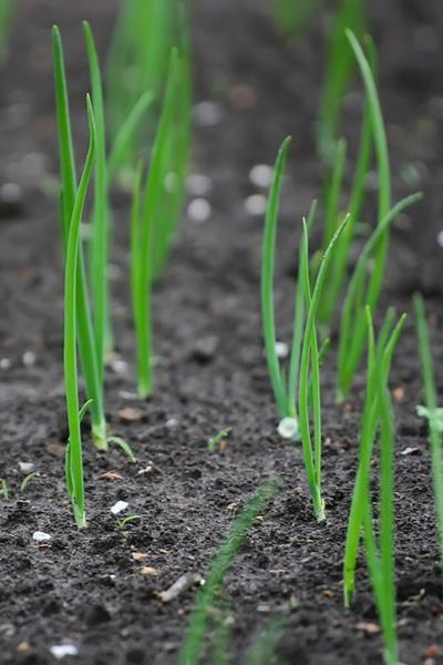 planting onion sets vs. onion seeds