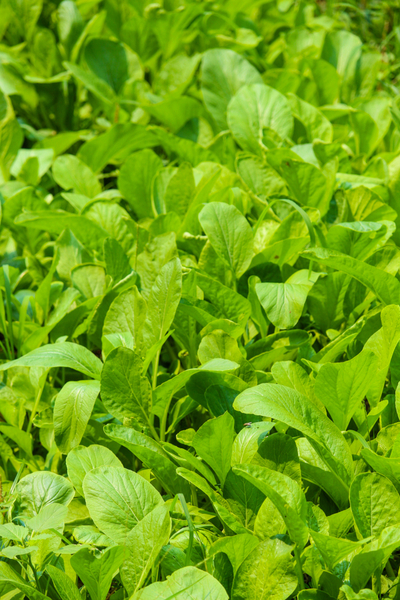 greens can be harvested at any point