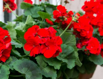 How To Keep Geraniums Blooming All Summer Long – Geranium Care 101