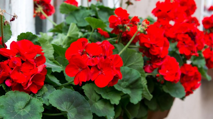 keep geraniums blooming