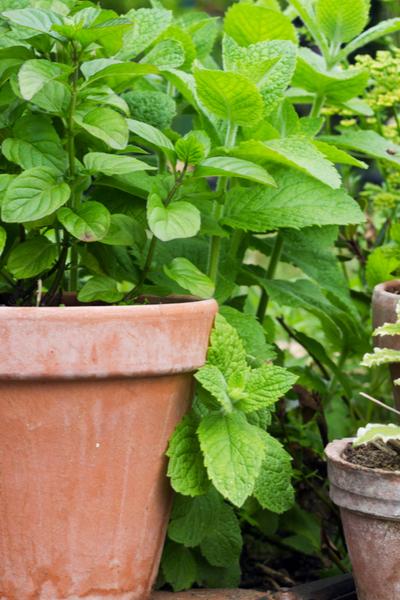 mint growing in a pot