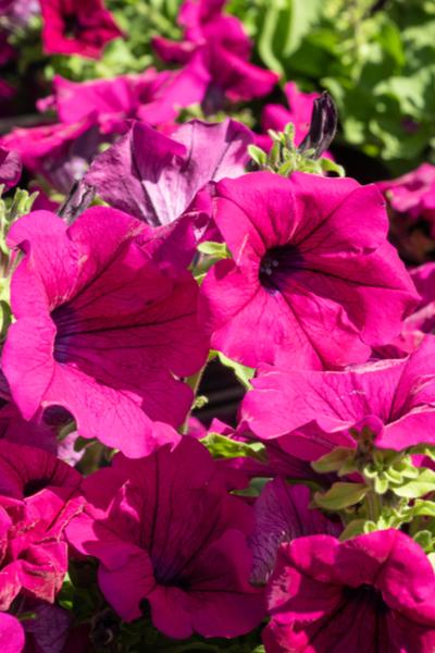 petunias in the sunlight