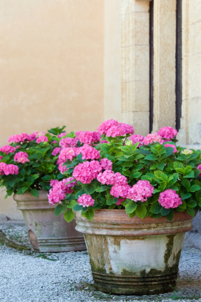 using perennials for potted plants