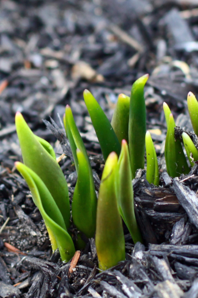 tulips emerging from the ground