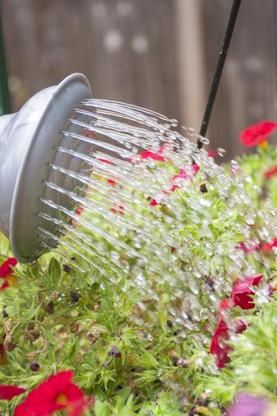 watering to keep wave petunias blooming