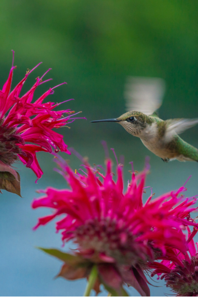 how to attract hummingbirds - bee balm