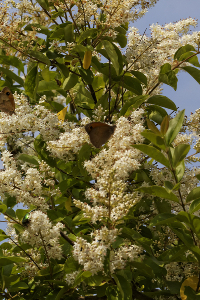planting and growing butterfly bushes