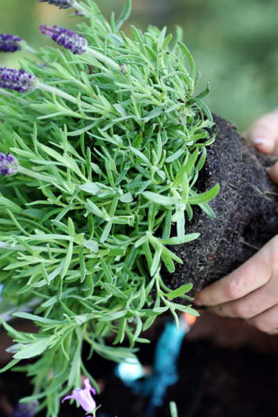 replanting potted plants