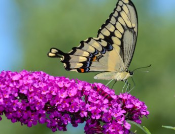 growing butterfly bushes