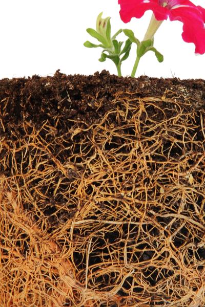 root bound plant