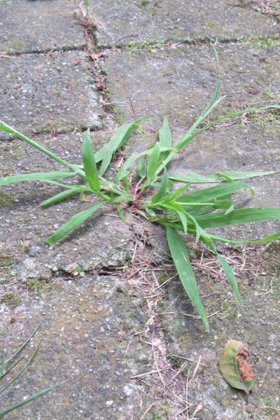 use vinegar to kill weeds