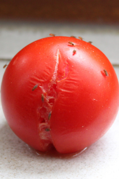eliminating fruit flies