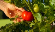 How To Harvest The Garden To Get The Most From Your Crops!