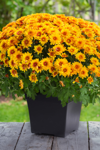 mums to bloom this fall