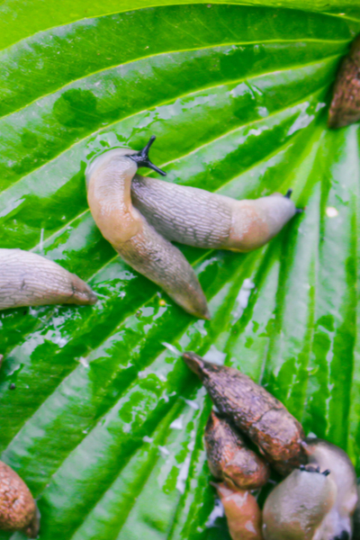slug on a hosta plant
