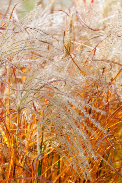 cut ornamental grasses back in the fall