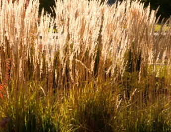 cut back ornamental grasses in the fall