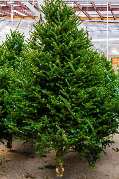best Christmas tree varieties