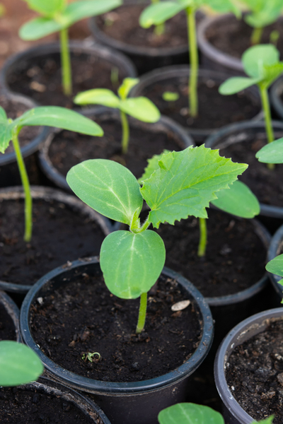 young seedling - compost