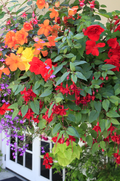 hanging baskets annuals
