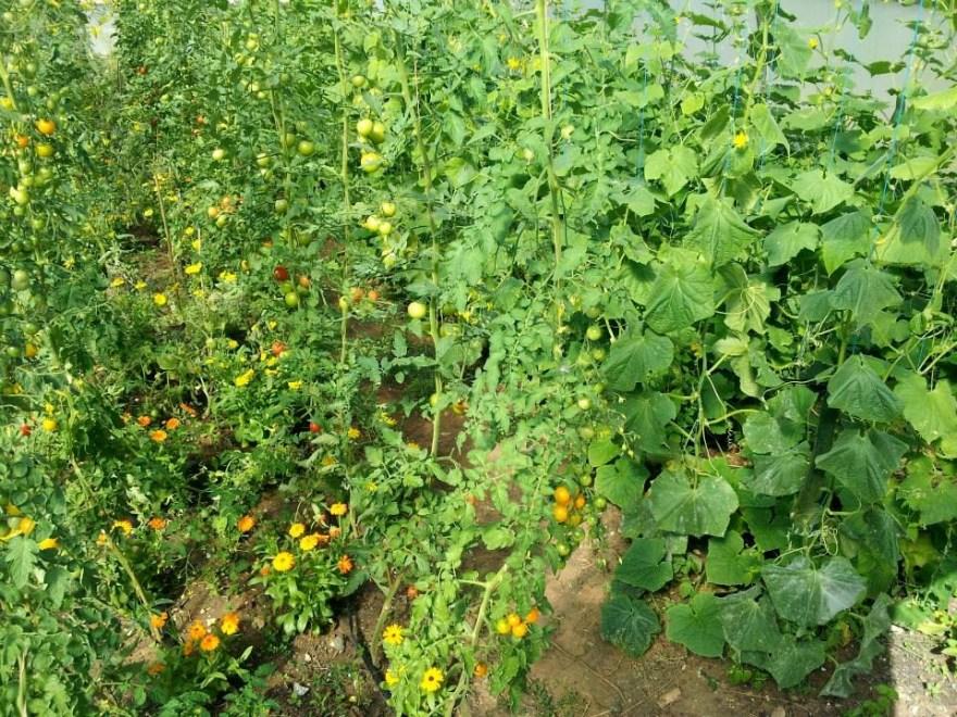 sutton-community-farm-tomatoes