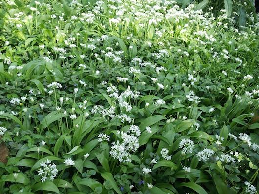 Wild garlic / ramsons, ground ivy, fall strawberry