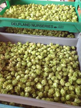 Grow Beer Sutton Hop Harvest 2016