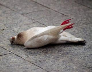 PIGEON MYSTERY DEATH INVESTIGATION OPENED
