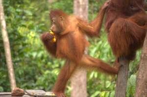 adorable pequeño orangutan