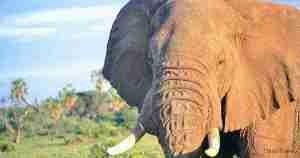 Elefante samburu n.p kenia