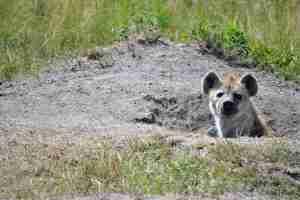 hiena hembra cuidando a sus crias